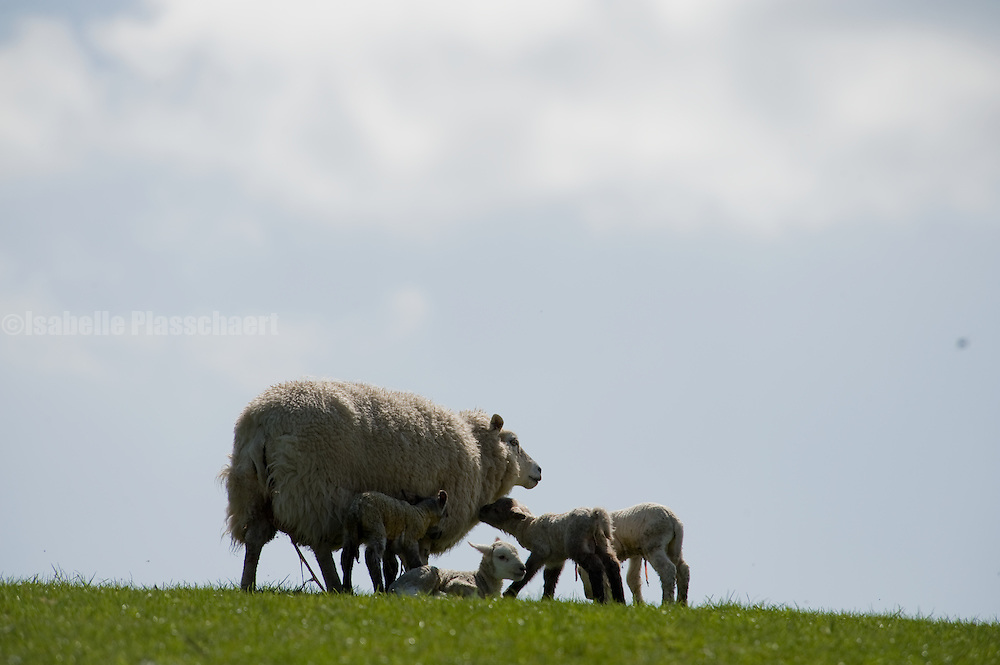 Animals at Sheepdrove Organic Farm in Berkshire, United Kingdom