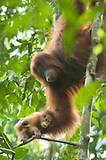 Sumatran Orangutan<br /> Pongo abelii<br /> 2 month old baby held on mother's arm<br /> North Sumatra, Indonesia<br /> *Critically Endangered
