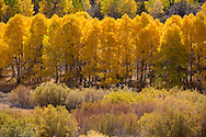 Yellow Aspen trees near June Lake, California