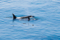 Mother and juvenile Killer Whales off Lime Kiln Point on San Juan Island, Washington, USA.