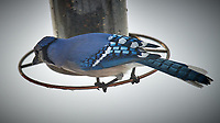 Blue Jay. Image taken with a Nikon D5 camera and 600 mm f/4 VR lens (ISO 160, 600 mm, f/4, 1/640 sec).