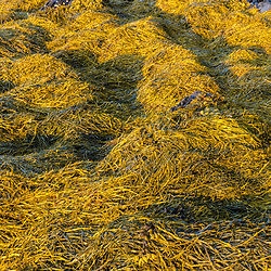 Rockweed on the Casco Bay shoreline at Martin Point in Portland, Maine.