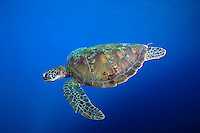 Green Sea Turtle.Shot in West Papua Province, Indonesia