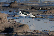 Pied Stilt, Curio Bay, New Zealand