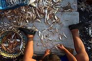 sorting fish and prawns on a fishing boat, Teluk Bahang, Penang, Malaysia