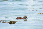 Sea Otter, Lutra lutra, carnivorous semi-aquatic mammal, eating conger eel at side of loch on Isle of Mull in the Inner Hebrides and Western Isles, West Coast of Scotland