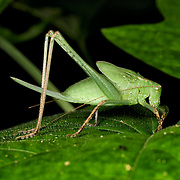 A green katydid nymph.