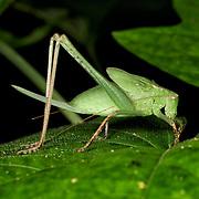 A green katydid nymph.