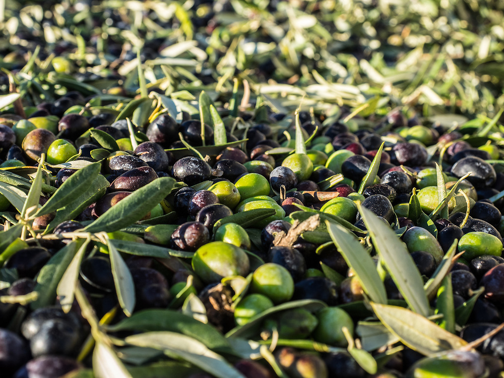 Processing olives for oil