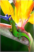 wildlife photography,Madagascar day gecko.
