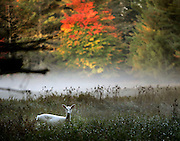 Cover for 2008 calendar. 300 dpi.<br /> <br /> Jeffrey phelps, near bolder junction, white deer