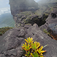 A bromeliad (Brocchinia tatei) grows from a rock crevice on the rocky summit of Roraima Tepui. Canaima National Park, Venezuela.