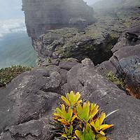 A bromeliad (Brocchinia tatei) grows from a rock crevice on the rocky summit of Roraima Tepui. Canaima National Park, Venezuela.