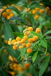 Buddleja globosa AGM. Orange ball tree