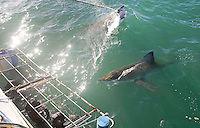 Two great white sharks around a cage diving boat in Mossel Bay, South Africa