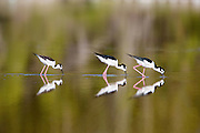 Reflection of black-necked stilts while feeding