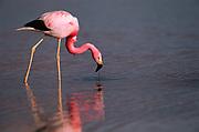 James's or Puna Flamingo<br />Phoenicopterus jamesi<br />Laguna Colorada, BOLIVIA. South America<br />RANGE; High Andes of s Peru, Bolivia, nw Argentina & n Chile