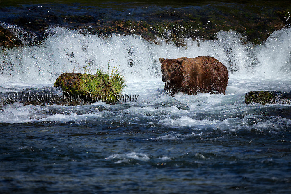 "A brown bear raises its head out of the water after ""snorkling"" for salmon at Brooks Falls."