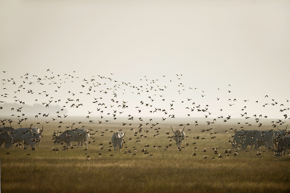 Hungarian Grey Cattle (Bos primigenius taurus hungaricus) with European Starling (Sturnus vulgaris) swarm around, Hortobagy National Park, Hungary