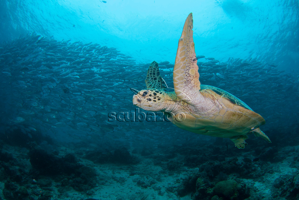 A Green Turtle, Chelonia Mydas, swimming over the reef with a school of Big-Eye Trevally, Caranx sexfasciatus, swimming above in the background, Sipadan Island, Sabah, Malaysia.