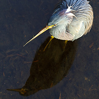 South Florida bird photography from New England based outdoor photographer Juergen Roth showing a heron at the Green Cay Nature Center and Wetlands in Boynton Beach, Florida. Green Cay and Wakodahatchee Wetlands are amazing nature area for viewing and photographing wildlife in Florida. <br />