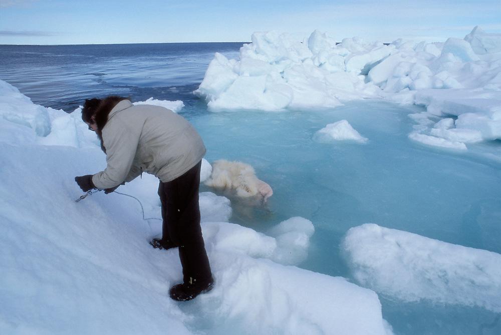 Barrow, Alaska. Man soaks polar bear skin in a meltpool, spring Barrow.