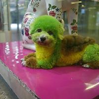 BEIJING, DEN 5. JUNI 2011 :ein Ninja Pudel in einem Tiergeschaeft, das u.a. einen Spa Service anbietet, ebenso wie temporaere Unterkuenfte fuer Hunde, deren Besitzer auf Reisen sind.