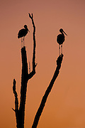Silhouette of two storks standing on a tree at sunset. photographed in Israel in July