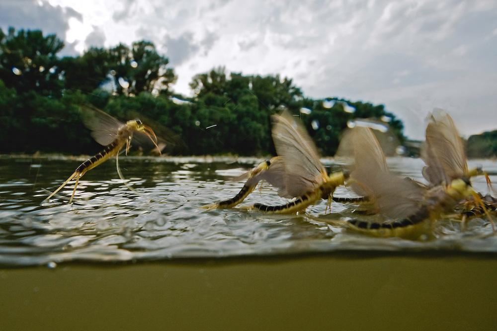 Mayfly (Palingenia Longicauda) is swarming in the river Tisza, Hungary, June 2009.