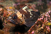 Quillback Rockfish, Sebastes maliger, rests along the bottom in Browning Passage, Vancouver Island, British Columbia, Canada.