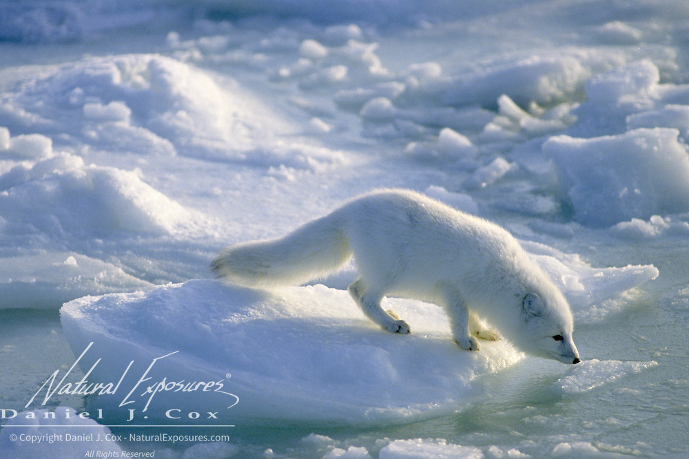 Arctic Fox (Alopex lagopus) scavenging on a non-frozen ice pack in Hudson Bay.