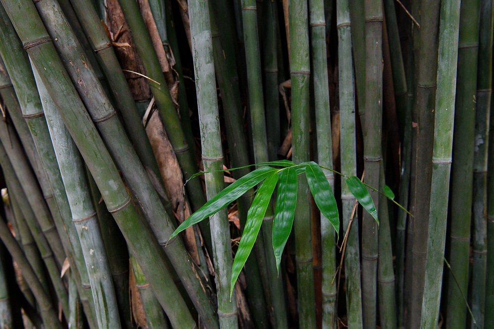 Bamboo, Leaves and sticks, East Lake Greenway park, Wuhan, Hubei, China