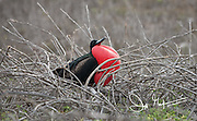 A male frigatebird sits with its gular sack inflated on North Seymour island in the Galapagos archipelago of Ecuador.