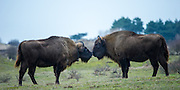 European bisons (Bison bonasus) touching noses in a moment of affection