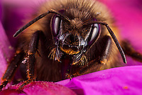 Macro view of bumblebee emerging from fireweed blossom in Kodiak, Alaska garden