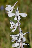 Prairie Larkspur, (Delphinium carolinianum), Mason County, TX