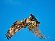 Osprey Bringing Spanish Moss to the Nest