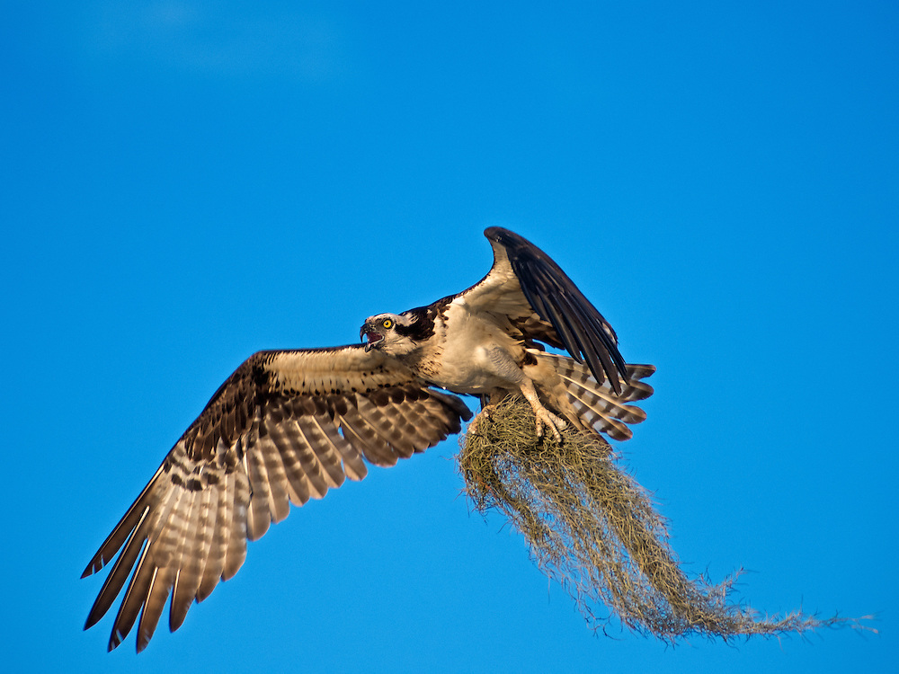 Osprey Bringing Spanish Moss to the Nest