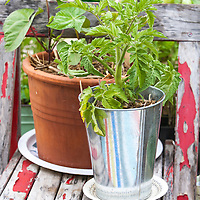 Tomato plant and other edible plants growing in a galvanized pail on an old chair on an urban roof garden.
