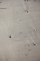 Racoon tracks along Third Beach in Olympic National Park, WA.
