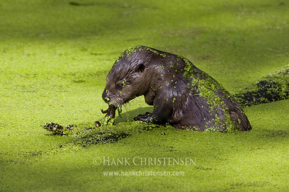 River Otter eats algae in a green pond, Mt St Helens National Park