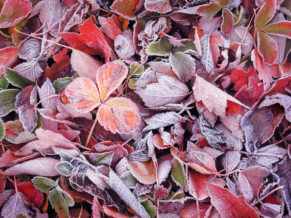frozen autumn wild strawberry plants and maple leaves