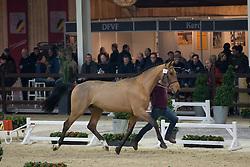030, Nannan-A<br /> BWP Hengsten keuring Koningshooikt 2015<br /> © Hippo Foto - Dirk Caremans<br /> 21/01/16