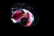 Pteropod Sargasso Sea, Bermuda | Flügelschnecken (Thecosomata)
