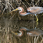 A Tricolored Heron, Egretta tricolor, hunting for fish in a saltmarsh. Richard DeKorte Park, Lyndhurst, New Jersey, USA
