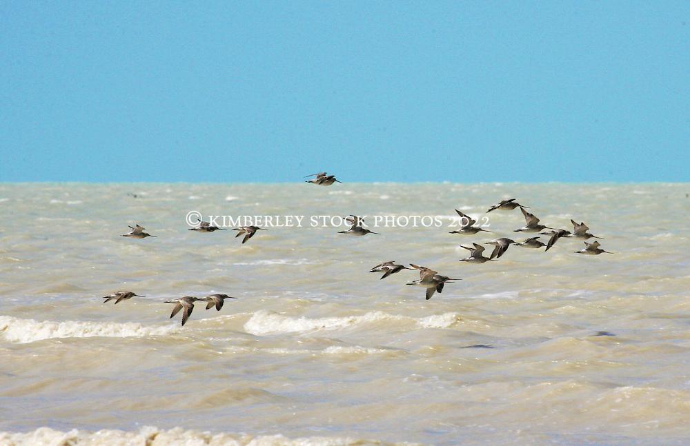 Shore birds head to shore at Crab Creek on the shores of Roebuck Bay.