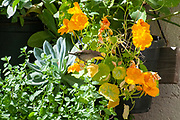Female Palestine Sunbird or Northern Orange-tufted Sunbird (Cinnyris oseus) in a garden. This is a small passerine bird of the sunbird family which is found in parts of the Middle East and sub-Saharan Africa. photographed in Jaffa, Israel in April