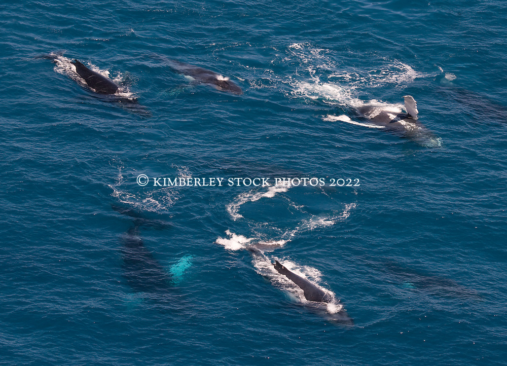 Eight whales travel together on the surface near James Price Point on the Kimberley coast.