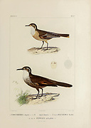 hand coloured sketch Top: buff-winged cinclodes (Cinclodes fuscus) [Here as Uppucerthia vulgaris]) Bottom: Chilean seaside cinclodes (Cinclodes nigrofumosus [Here as Uppucerthia nigro-fumosa]) From the book 'Voyage dans l'Amérique Méridionale' [Journey to South America: (Brazil, the eastern republic of Uruguay, the Argentine Republic, Patagonia, the republic of Chile, the republic of Bolivia, the republic of Peru), executed during the years 1826 - 1833] 4th volume Part 3 By: Orbigny, Alcide Dessalines d', d'Orbigny, 1802-1857; Montagne, Jean François Camille, 1784-1866; Martius, Karl Friedrich Philipp von, 1794-1868 Published Paris :Chez Pitois-Levrault et c.e ... ;1835-1847