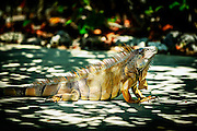 There are a number of Iguanas at The Dolphin Research Center (DRC) in Grassy Key FL. They are not native to the Florida Keys.<br /> To help control their populations on the islands the center works with a local veterinarian who neuters the animals free of charge. <br /> This one seemed to be the true Alpha of the bunch although it seems a couple other Iguanas think differently. This one was probably  2&rsquo;-2.5&rsquo; foot in length and didn&rsquo;t seem bothered by anything. The same can&rsquo;t be said for some of the visitors which were more than willing to get out of its way.